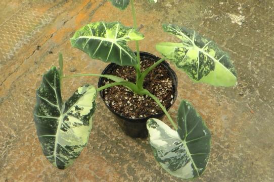 Alocasia-greenVbig