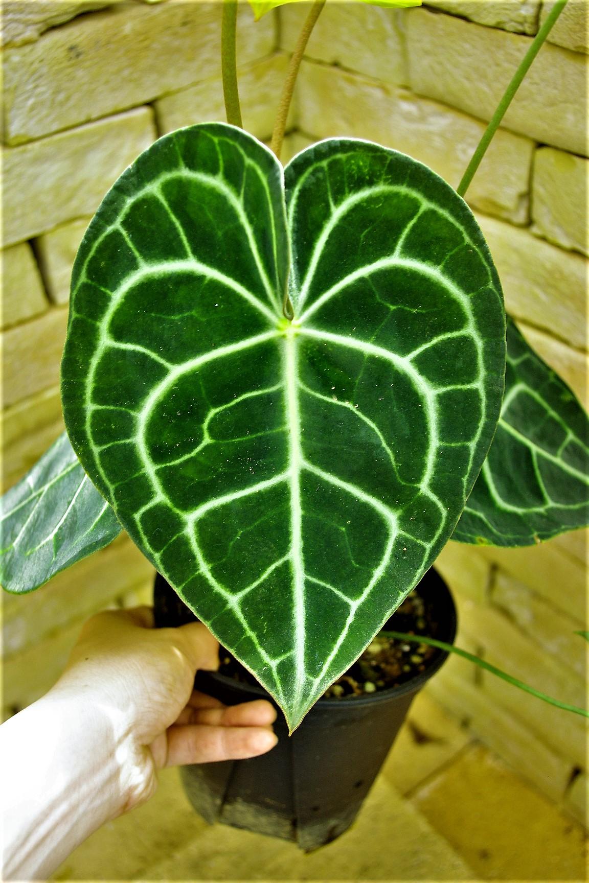 Anthuriumclarinervium