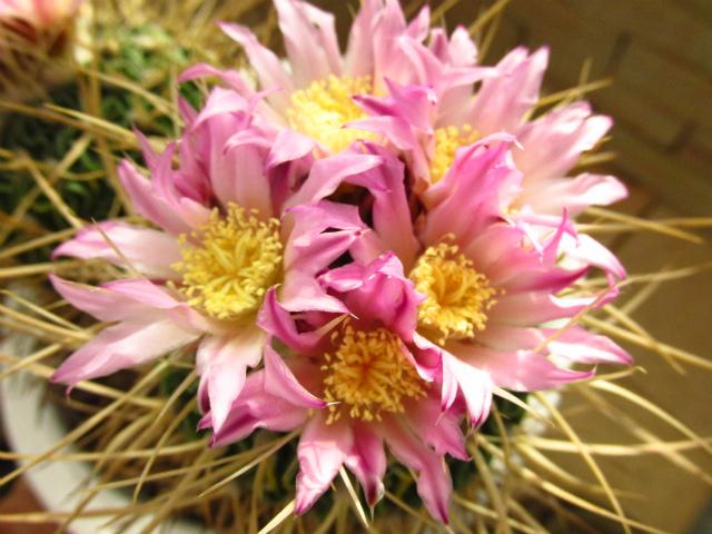 Echinofossulocactusa