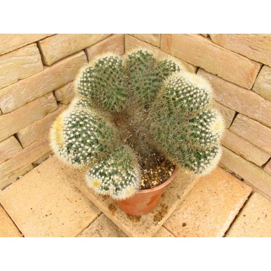 Notocactuscris