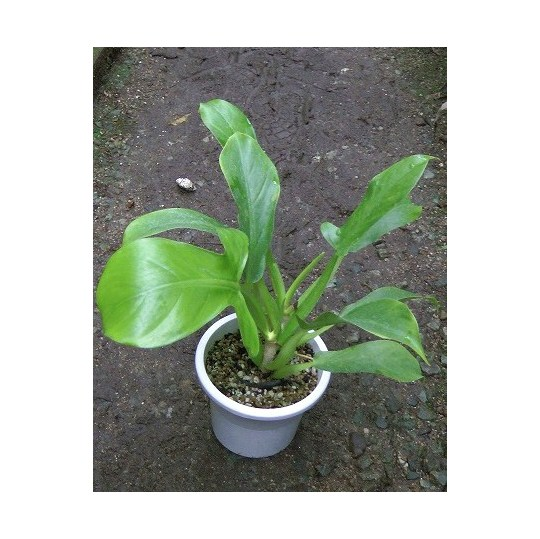Philodendron12