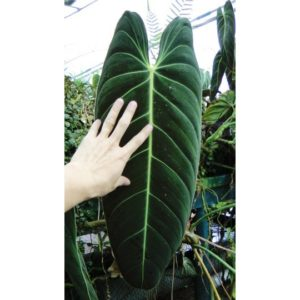 Philodendron22