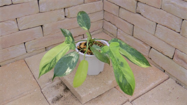 Philodendron2zmin