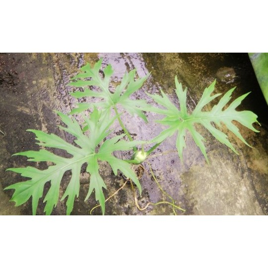 Philodendron3z