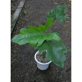 Philodendron5