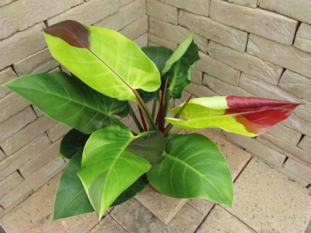 PhilodendronYellowvv