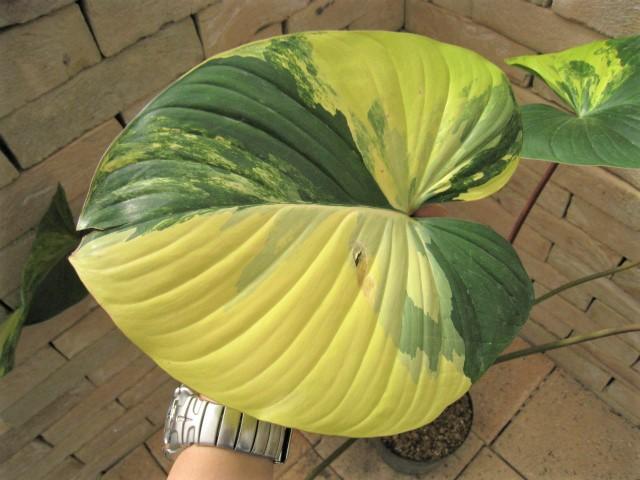 Philodendronmava