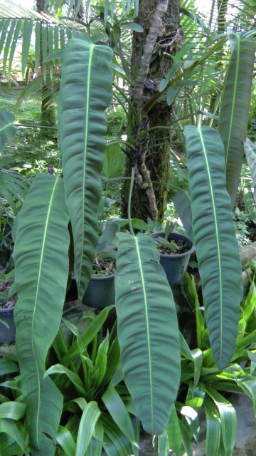 Philodendronpatr