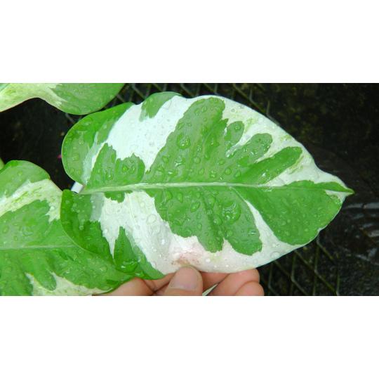 Philodendronpfo