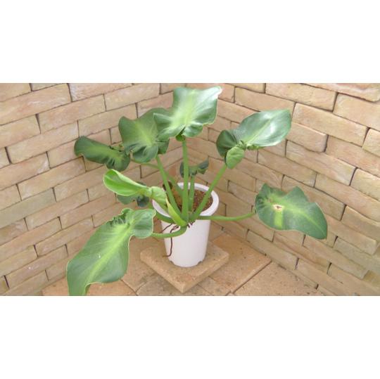 Philodendronrugosumzzxz