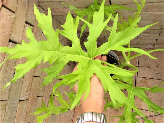 Philodendronzzzxxbigz