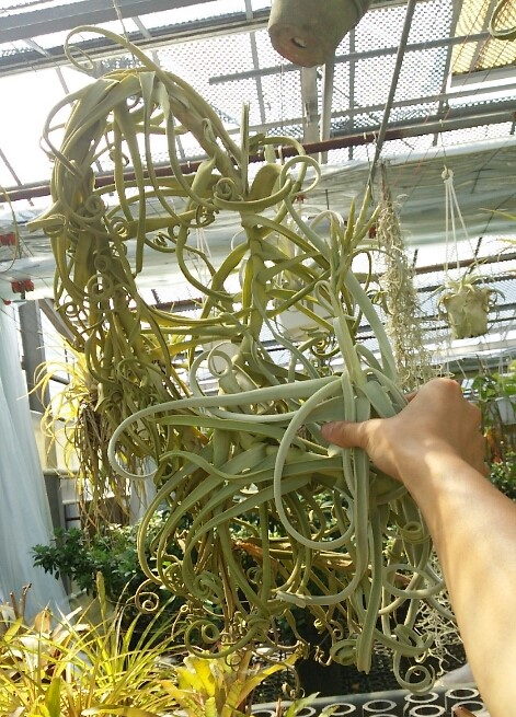 Tillandsia1XL